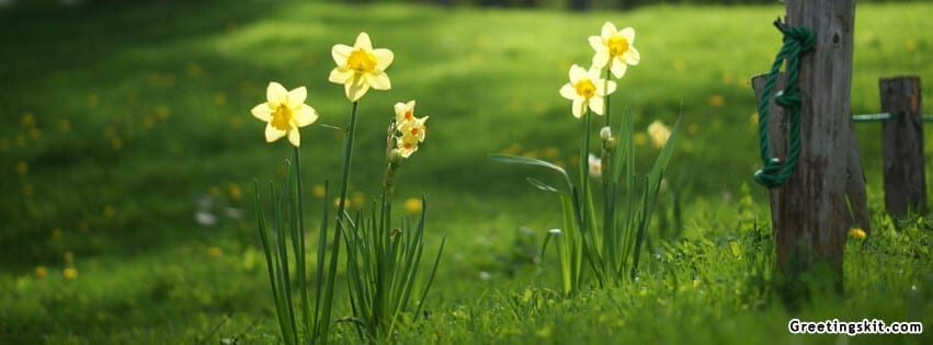 00-daffodils-facebook-cover