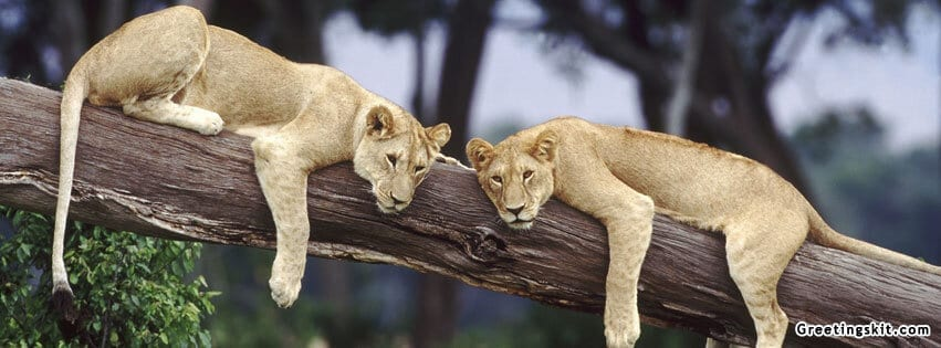 00-two-lioness-fb-timeline-cover-photo