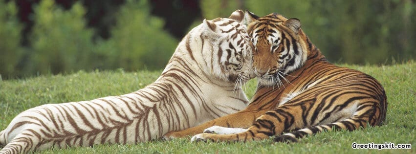 00-white-and-orange-tiger-fb-timeline-cover-photo