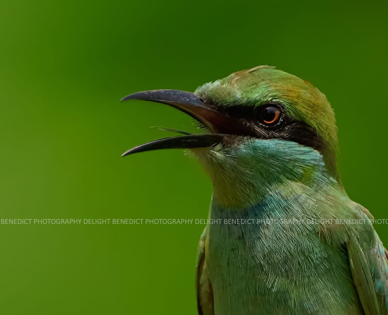The Amazing Green Bee-Eater
